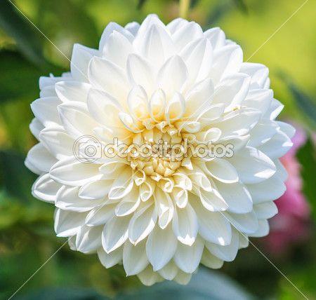 Dalia bianco fiore bianco per la trama di sfondo — Foto Stock ...