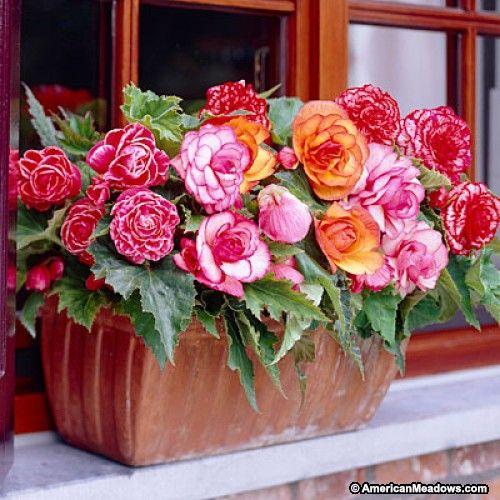 Picotee Tuberous Begonia Mix, Begonia, Tuberous Begonia