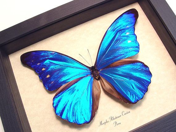 Real Framed Blue Morpho Rhetenor Cacica by REALBUTTERFLYGIFTS