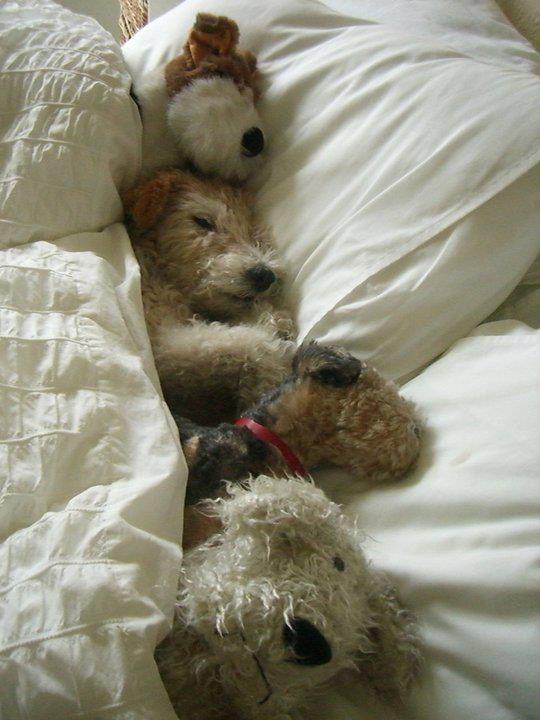 10 chiens trop mignons s'invitent dans le lit de leur maître !                                                                                                                                                      Plus