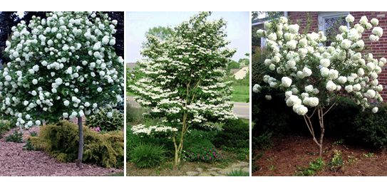 Fragrant Snowball Viburnum Carlcephalum