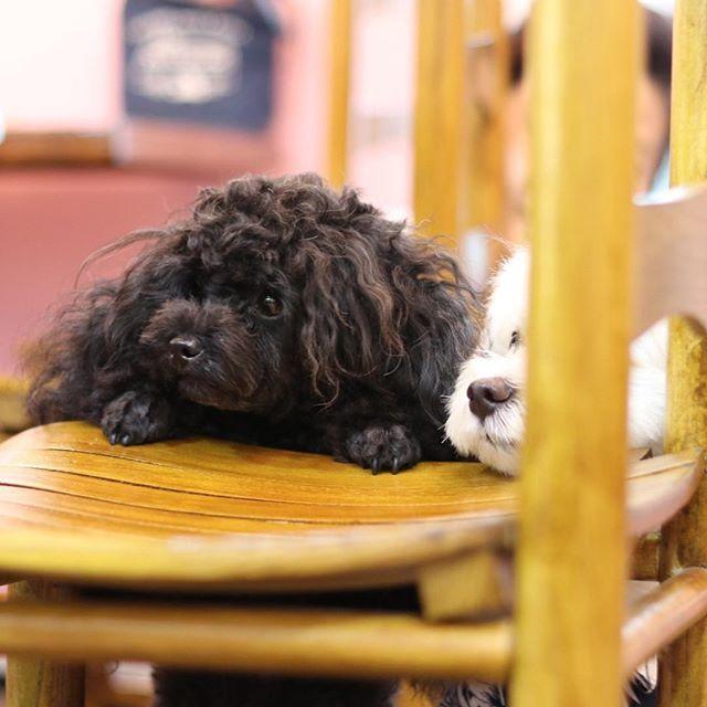 . アーサーとうたくん🐶⭐️ 視線の先なーんだ👀❓ . #神楽坂  #トイプードル #神楽坂ドッグカフェ  #犬カフェ #肉球 #肉球のきもち #犬のおやつ #ドッグカフェ #もずく #うに #トイプードルもずく #トイプードルうに #超音波温浴 #酵素風呂 #セルフシャンプー #神楽坂トリミング #神楽坂おすすめ #愛犬 うに @uni_1221  もずく @mozuku_0211