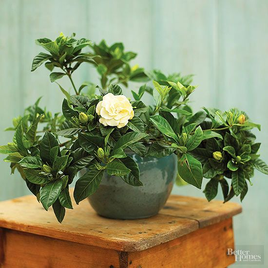 If you want to add greenery and pretty natural fragrances to your home, you need to check out these top picks for fragrant houseplants! Bring a bit of nature indoors, and enjoy the refreshing smells ranging from flowery to spicy with these pretty plants. Try growing scented geranium, Arabian jasmine, citrus, eucalyptus, gardenia, and more!