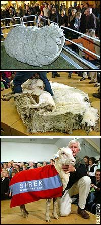 Shrek the sheep.  Shrek, the New Zealand merino sheep which spent 6 years on the run from his owners, finally had his long-postponed encounter with a pair of shears. I can't look at these photos without laughing. What a champ!