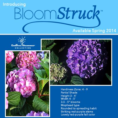 BloomStruck® hydrangea from the world's best selling reblooming hydrangea collection, Endless Summer - Available Spring 2014