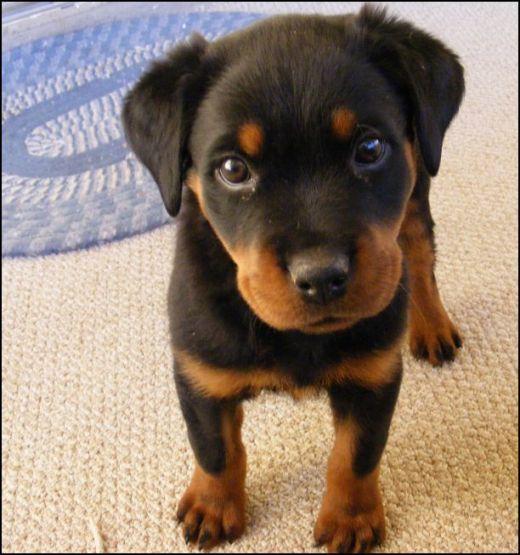 Doberman puppy. What were getting when we move so Kira has a friend :)