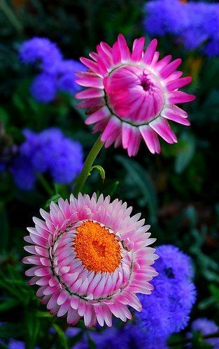 ~~Paper daisy, Rosy everlasting Flower by natureloving~~