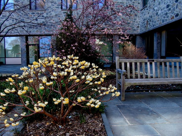 Edgeworthia Chrysantha Blooms In Winter Evergreen In Other Seasons This Is What I Have In The
