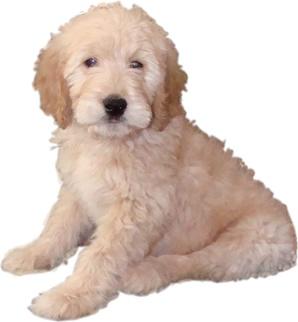 goldendoodles!!!: Lacey Goldendoodle, Big Boys, Goldendoodle Mi Big, Baby, Goldendoodles, Cute Puppys, Puppys Puppys Puppys, Golden Doodles, Goldendoodle Dogs