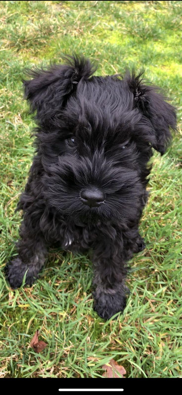 Black And White Miniature Schnauzer Puppies 2021