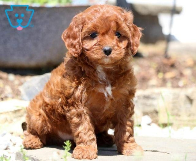 Buzz Cavapoo Puppies Puppies Cute Baby Animals
