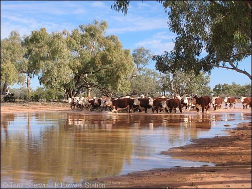 australia cattle station - Google Search