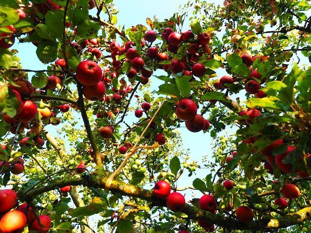 Piros alma mosolyog a fán