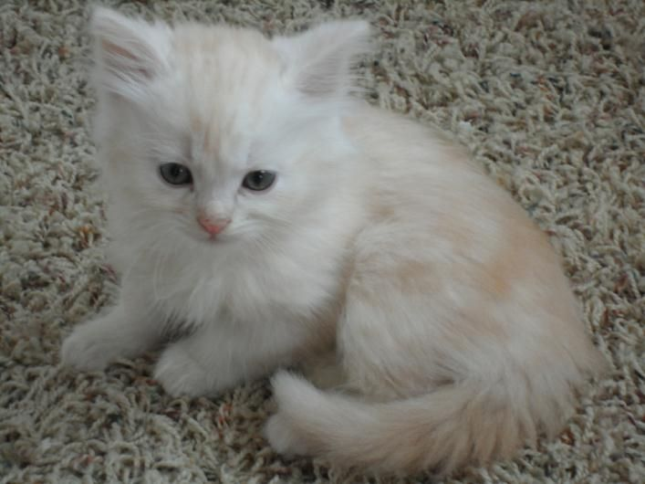 Allergy Free Cats For Sale