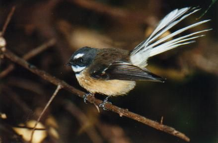 Very Friendly Fantail