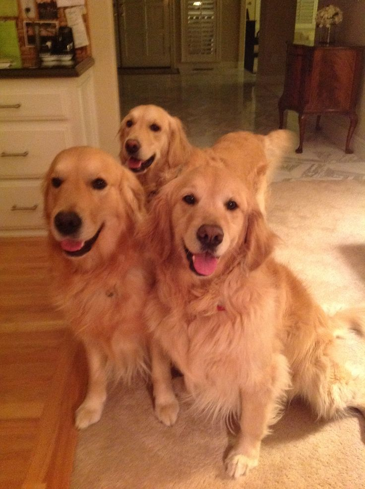 Three happy goldens!