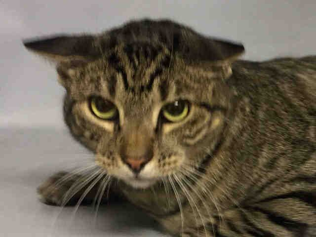 ZIRALDO - A1097221 - - Brooklyn  Please Share:***TO BE DESTROYED 11/22/16***  ZIRALDO IS SHY BUT PLAYFUL AND GOOD WITH CATS AND DOGS – NEEDS A NEW BEST FRIEND TONIGHT!  -  Click for info & Current Status: http://nyccats.urgentpodr.org/ziraldo-a1097221/