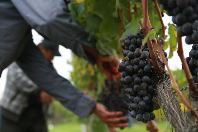 Know Merlot: A look at Long Island's most-planted grape ...