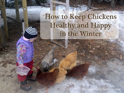How to Keep Chickens Healthy and Happy in WInter