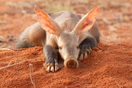 Learn all you wanted to know about aardvarks with pictures, videos, photos, facts, and news from National Geographic.