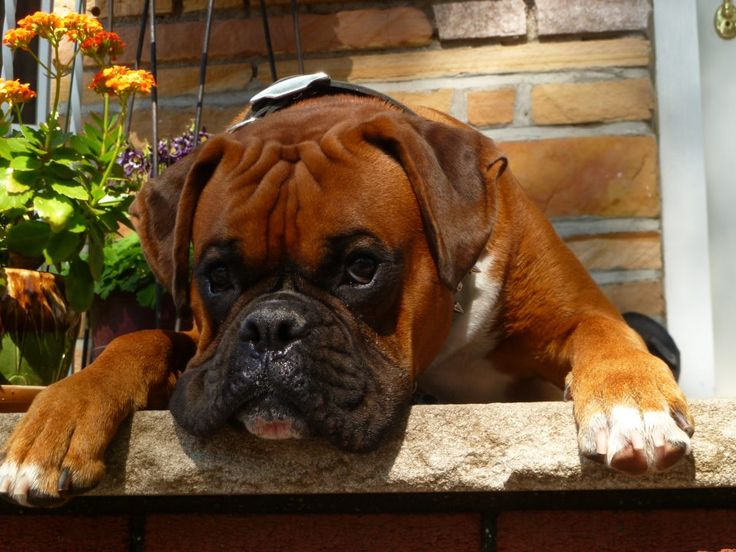 Beautiful #Boxer resting on the balcony :)