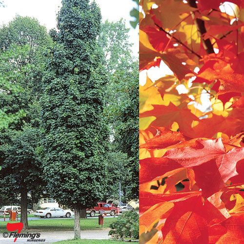 Entry Trees option 1 - Acer saccharum 'Gold Spire'