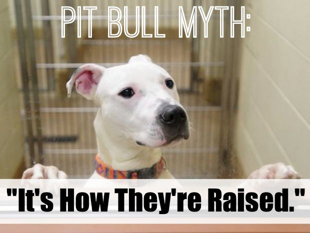 """Pit Bull Myths: """"It's How They're Raised."""" - The Lazy Pit Bull"""