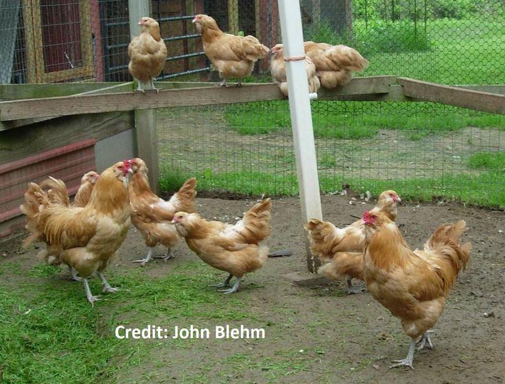 Buff Ameraucana Chicken For Sale | Cackle Hatchery