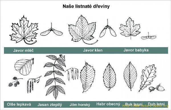 naše listnaté stromy - listy