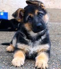 Purebred and Registered German Shepherd Puppies