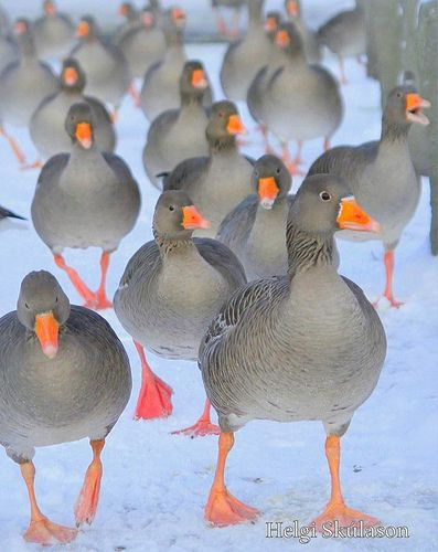 up, two, three, four....................................... the goose army, Iceland