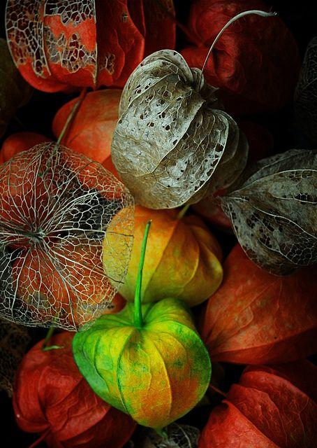 Colourful autumn by Funchye, via Flickr. Tag: Physalis alkekengiautumn