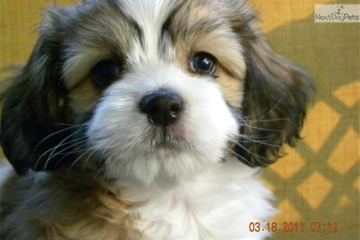 A cute Cavanese puppy. Reminds me of the day we brought Molly home
