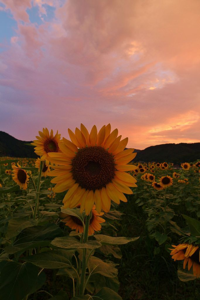 Sunflowers – Sayo town, Hyogo prefecture,Japan::…Click here to download Sunf…