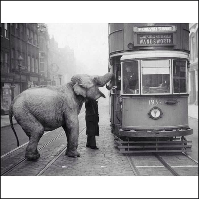 1873 elephant is offered an apple along the streetcar stop