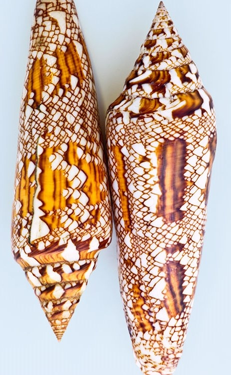 Bengal Cone shells