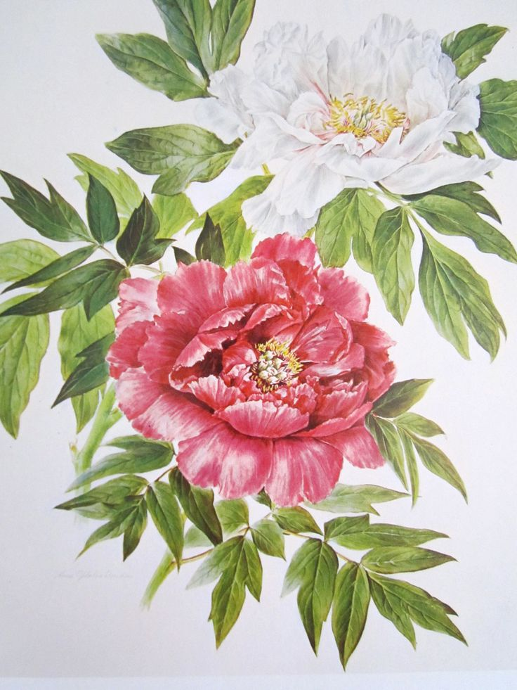 peony flower print vintage botanical print pink and by booksygirl