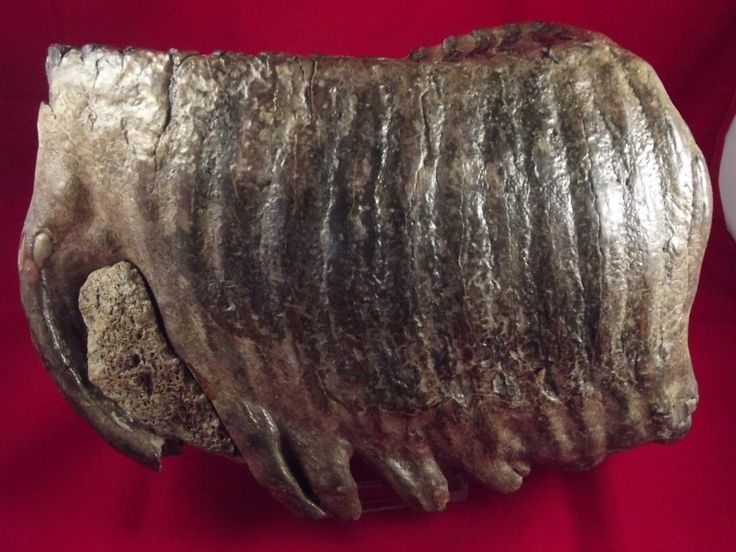 Woolly Mammoth Tooth (Mammuthus Primigenius) M3. The chewing surface of the tooth is beautiful as well as the root. Also a nice dark colour makes this tooth one of the best quality teeth available. Length: 205mm, Width: 138mm, Depth: 80mm. Great overall surface and very solid - a fabulous collectors item. As can be seen in this pic., there is a large piece of jaw bone trapped within the roots. 30-50 Thousand Years Old. 2.715 Kilograms (2715grams). Available at: www.relicsandrocks.com.au