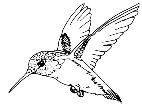 Birds Ruby Throated Hummingbird Bird Coloring Page PageFull Size Image