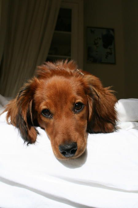 Long-haired Dachshund Puppy