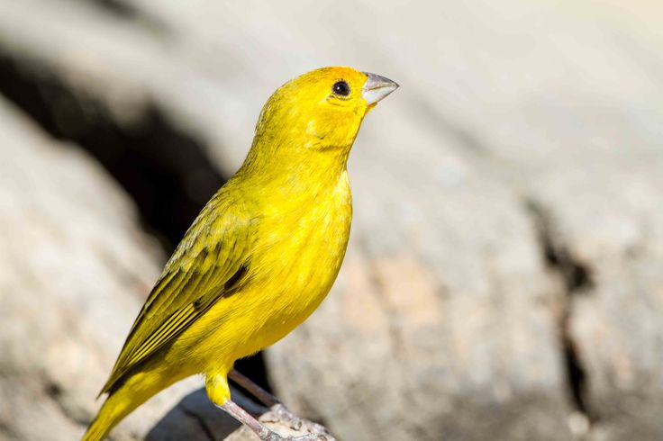 Fun fact Friday: A few drops of #saffron was used in the drinking water of canaries to improve their plumage - #Canary#birds