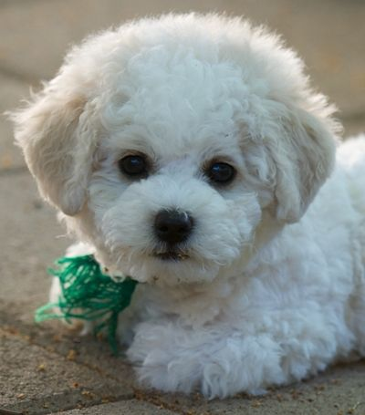 bichon frise cutie   Once in awhile I see a dog that's cute, but never as cute as a bichon frise