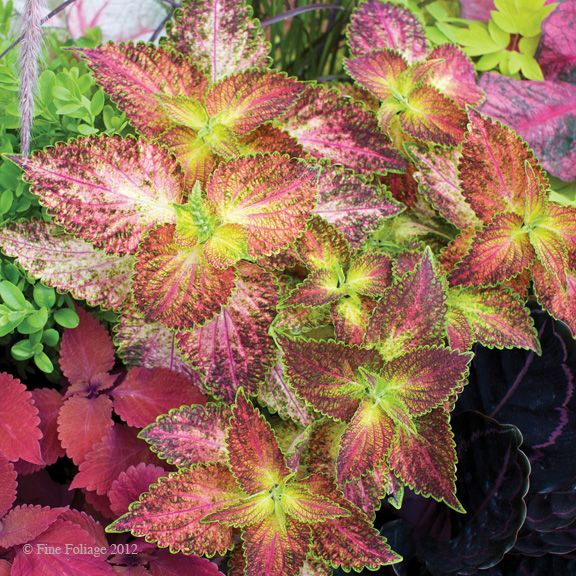 Coleus - one of my favorite filler plants; grow fast, Avail in many colors.