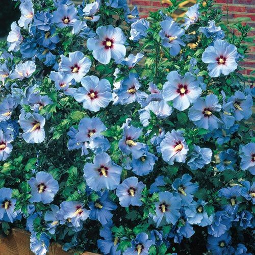 "Blue Bird Rose of Sharon  An incredibly beautiful shrub with an extraordinarily long flowering time! Saucer-shaped blooms with overlapping petals of azure-blue, accented by red-purple throats, are produced nonstop from midsummer to frost, opening 3-5"" wide. Will form an open fan-shaped bush 6-8' tall and easily used for a screen or hedge. Ships in 4"" pots. Zones 5-8 Hibiscus syriacus 'Blue Bird'"