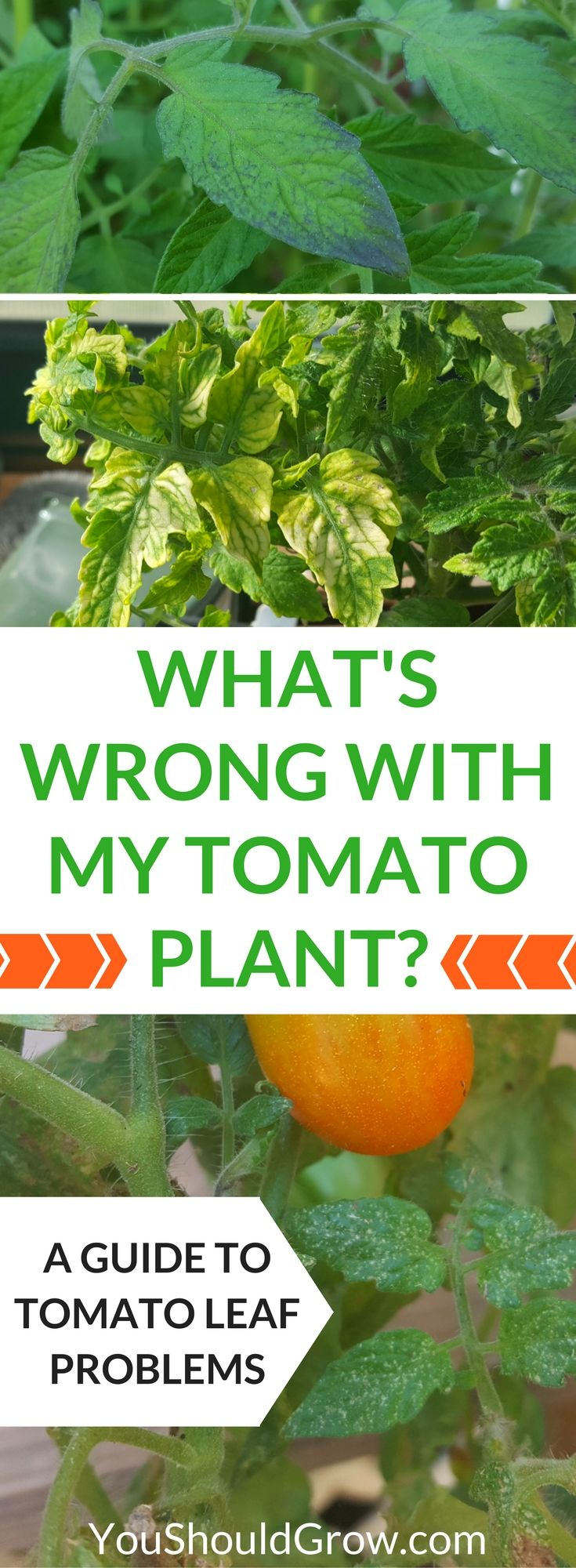 "Why+are+your+tomato's+leaves+yellow,+spotty,+or+wilted?+Homegrown+tomatoes+can+suffer+from+a+variety+of+pest+and+disease+issues.+If+you're+wondering,+""What's+wrong+with+my+tomato+plant?""+Use+this+guide+to+tomato+leaf+problems+to+figure+out+what's+wrong+and+what+you+can+do+about+it.+via+@whippoorwillgar"