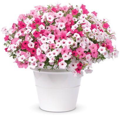 Proven Winners - Above & Beyond -Petunia Hybrids Combination-Planter. Color Scheme Type: Pastel Mix