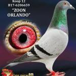 """012 - B17-6206659 """"ZOON ORLANDO"""" ♂   De Duif"""