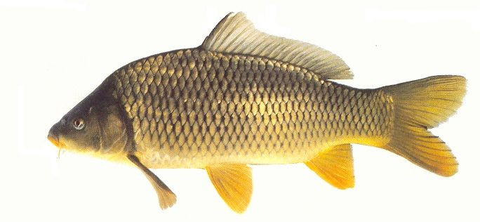 Schubkarper gevangen door drijvend vissen in een van de drie visvijvers van camping Château  le Verdoyer in Champs Romain  in de Dordogne te Frankrijk in mei 2016. Als aas een drijvend korstje brood.