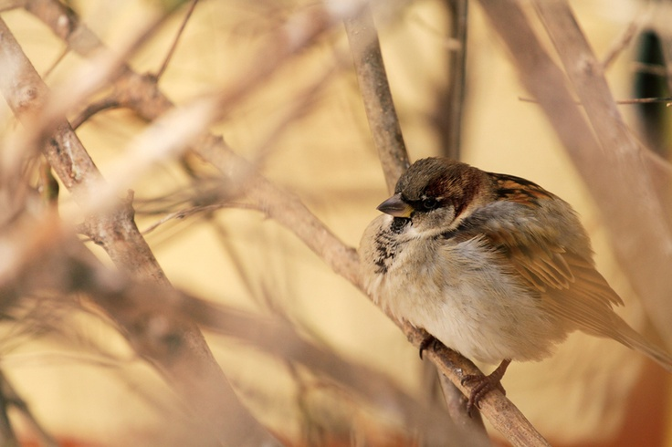 """Passer Domesticus"" 2012 rights reserved www.itsvision.info"