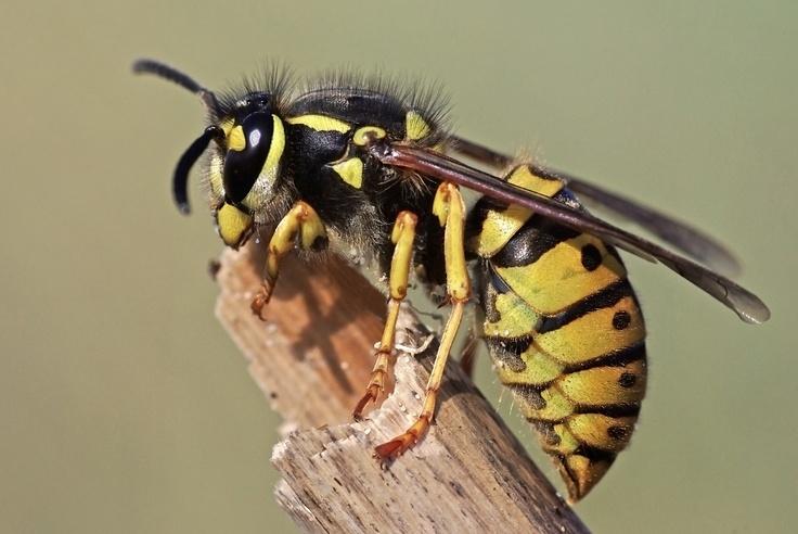 Common Wasp. Wasps Pinterest Wasp